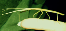 green Walking Stick